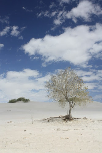 A single tree - White Sands National Monument