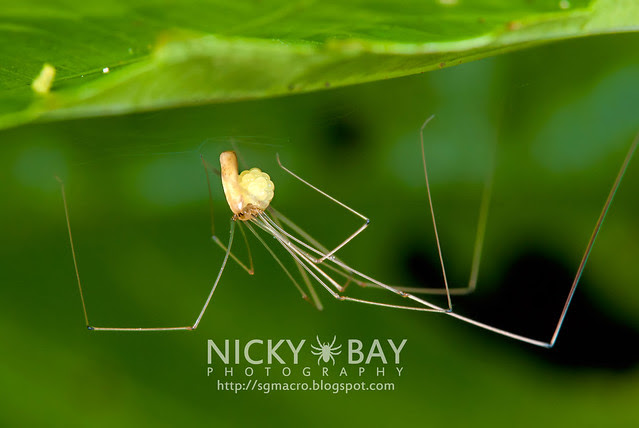 Daddy Long Legs (Pholcidae) - DSC_5087