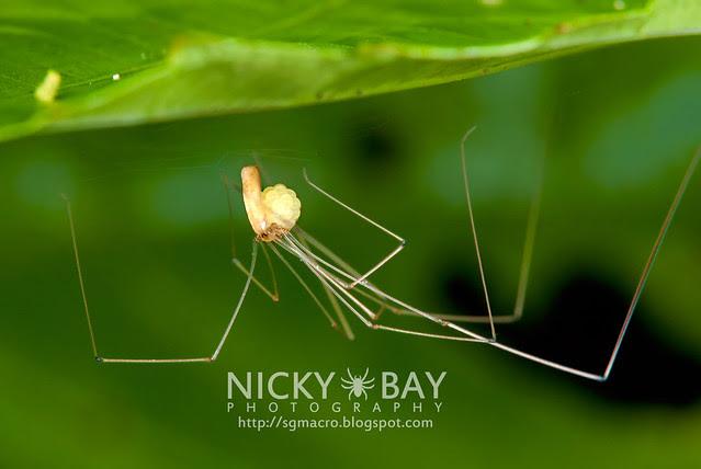 Daddy Long Legs (Pholcidae) - DSC_5087