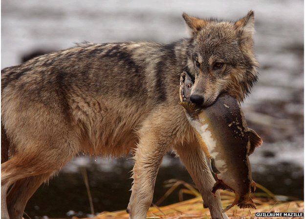 Wolf and salmon