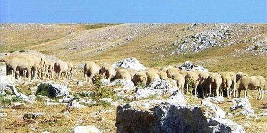 Pecore anatolia