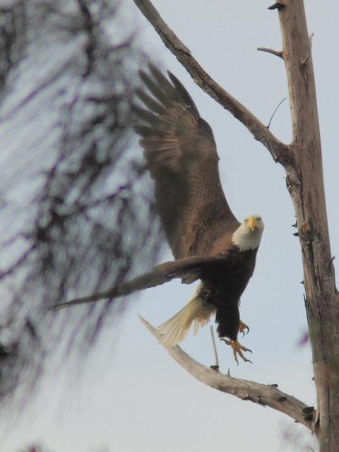Bald Eagle male takes flight 0856 20121221