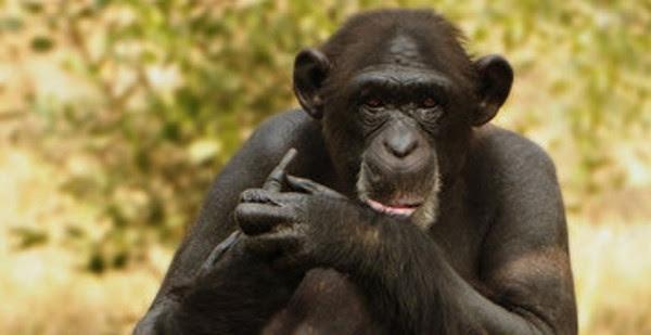 chimpanzee-baby-120605