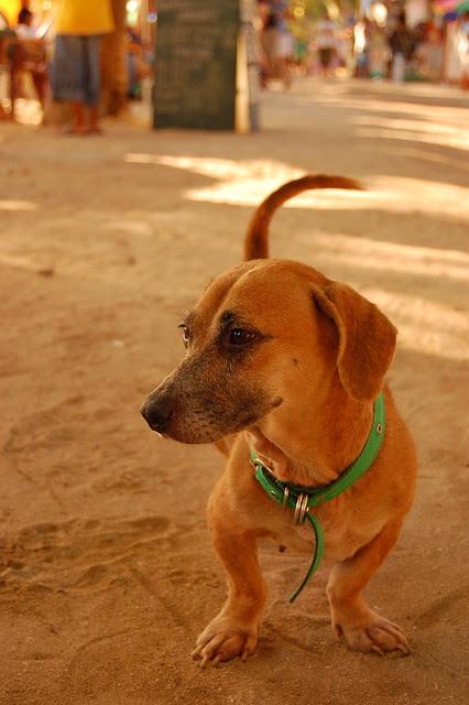 DOGS OF BORA, Boracay, Malay, Aklan, Philippines