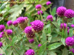 bc - purple