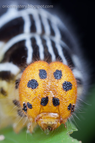 IMG_8722b copy Orange Awlet, Burara harisa consobrina caterpillar