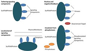 Function of scaffold proteins