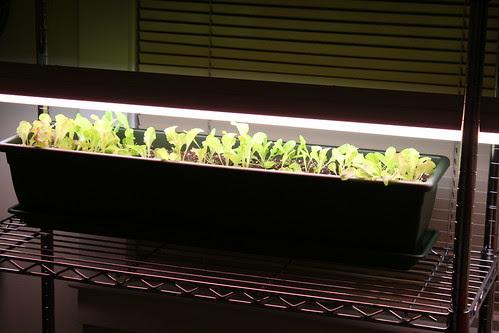 baby salad 001