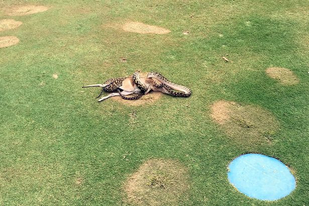 Python wrestling with a wallaby