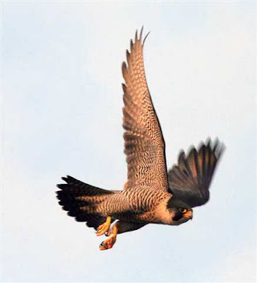 Derby's female peregrine taken on 11 May 2008 by J Salloway.