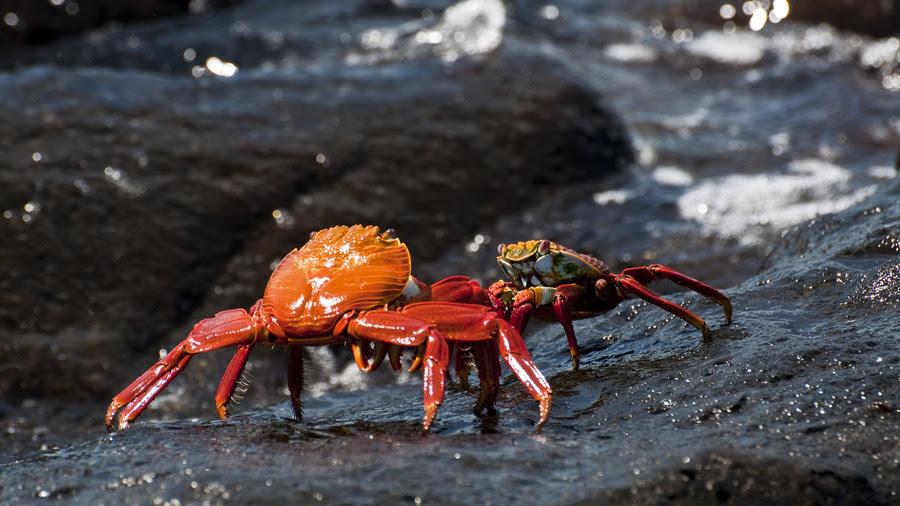 Galapagos crabs.