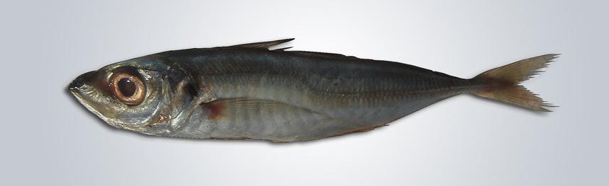 Resultado de imagen de Trachurus trachurus