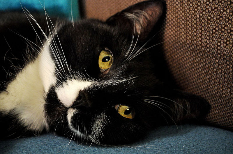 9 Reasons Tuxedo Cats Rock The Purrington Post