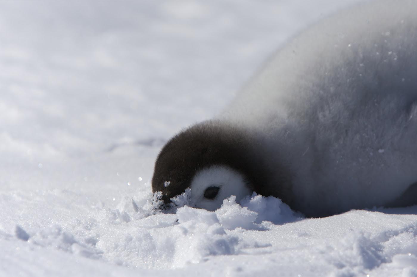 http://upload.wikimedia.org/wikipedia/commons/1/1a/Aptenodytes_forsteri_-Snow_Hill_Island%2C_Antarctica_-juvenile-8b.jpg