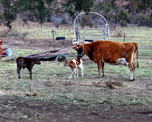 Button had a little boy too...and he is a beauty!  Love the white on him!  He just may be our new herd Sire!