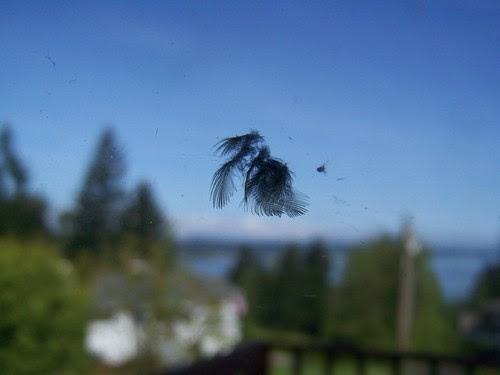 may 048 Feather from bird hitting window