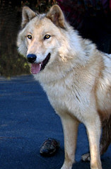 wolf06