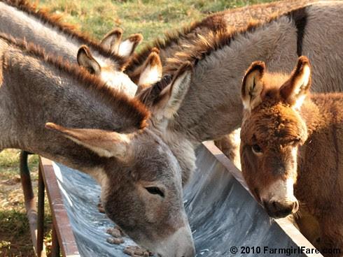 Donkey Ears 1