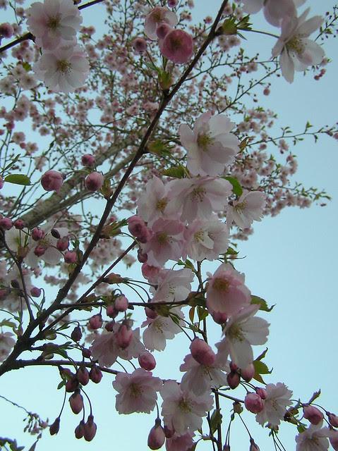 Kirsid jaapani aias