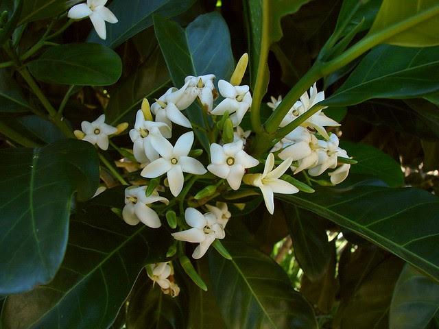 Native Gardenia ( Atractocarpus fitzalanii )