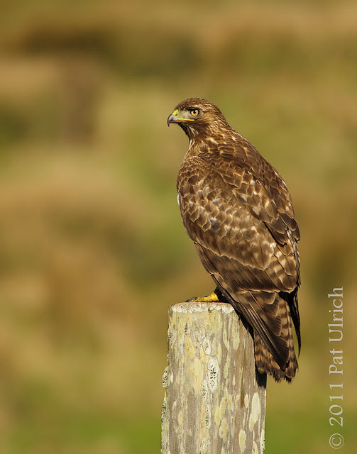 Red-tailed hawk, Point Reyes National Seashore - Pat Ulrich Wildlife Photography