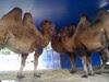 Conversing camels