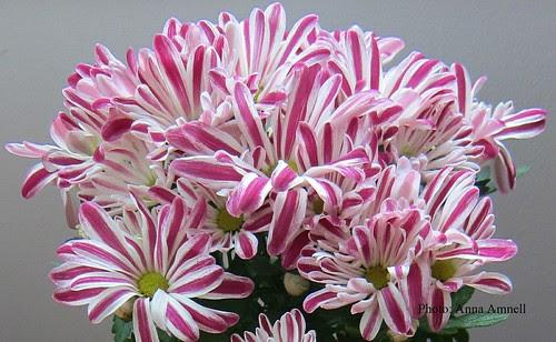 Chrysanthemum Ind.Robinho