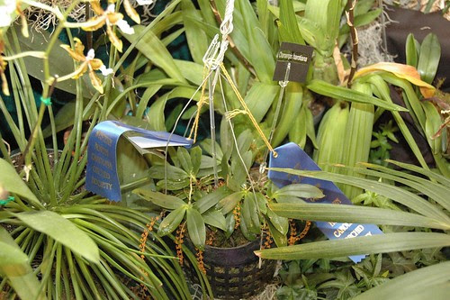 Chamaengis harotiana
