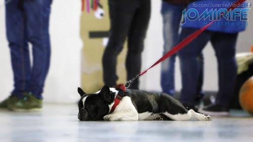 Buldogue Francês | French Bulldog