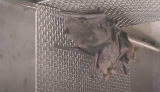 Βίντεο με νυχτερίδες σε εργαστήριο της Ουχάν πυροδοτεί νέα σενάρια για τον κορωνοϊό