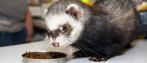 ferrets eat dog food food