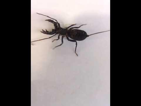 Ketonggeng atau Whip Scorpion
