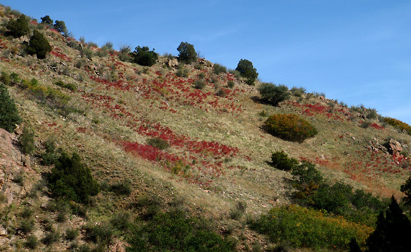 Sumac peppering a hill slope in Waterton Canyon, Colorado.