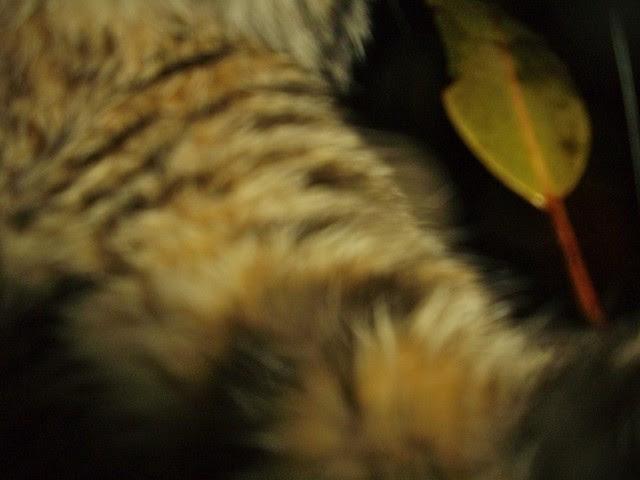 bobcat9