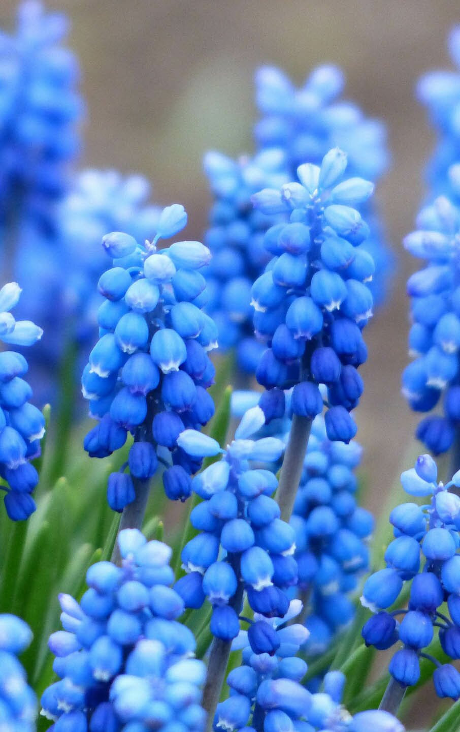 Muscari flower photos, 35 best flower photos
