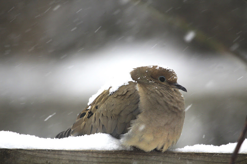 mourning dove snow4