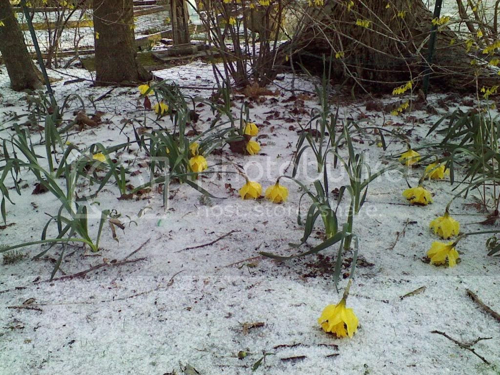 Daffodils after a night (April 15) of snow and sleet