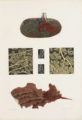 Ducts, Glandules and Cells (Cooper, 1840)