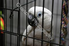 Charlie - an Umbrella Cockatoo