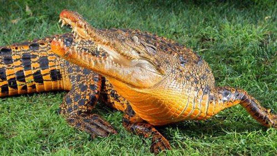 Πορτοκαλί κροκόδειλος