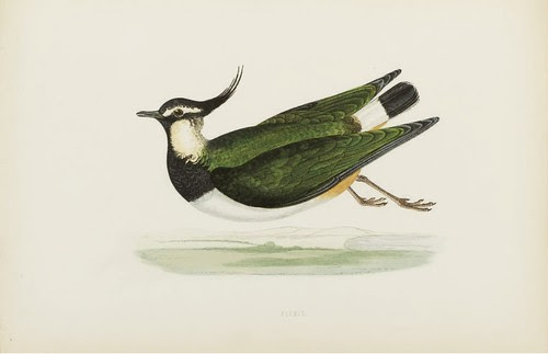 Peewit - A History of the Birds of Europe, CR Bree, 1863