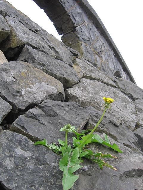 Vista House dandelion