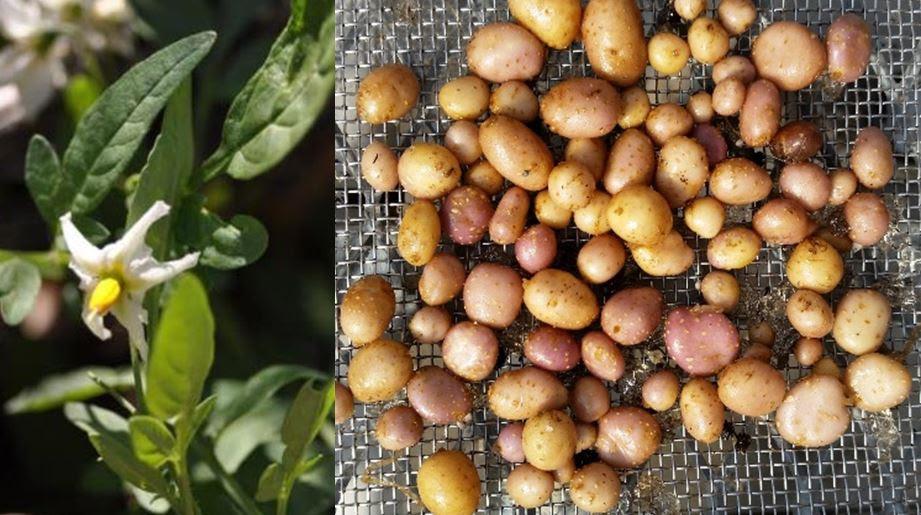 Image result for Solanum jamesii