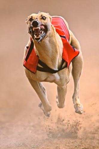 Greyhound Racing Dog