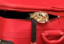 gatto+in+valigia+voli+per+animali