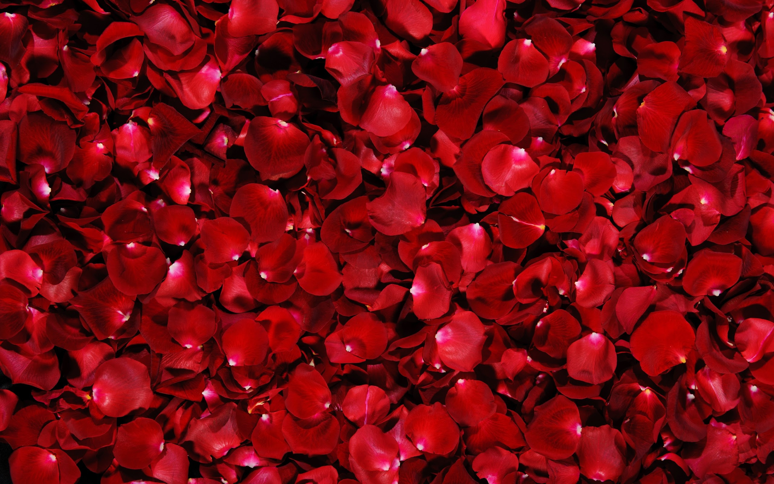 50 Beautiful Red Rose Images To Download