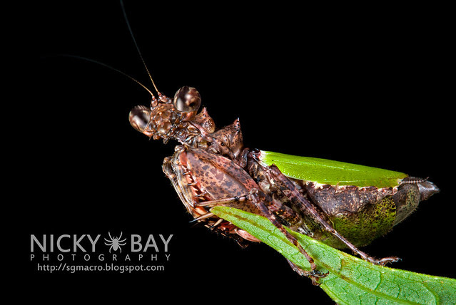 Pachymantis bicingulata - DSC_1496
