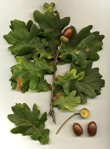 File:Quercus robur.jpg