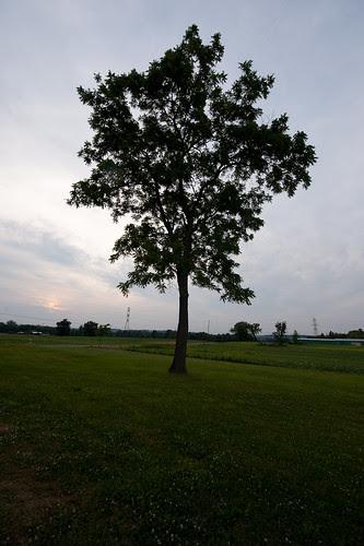 Locust Treet