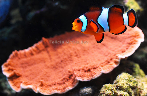 Amphiprion ocellaris and Montipora hodgsoni by Felicia McCaulley